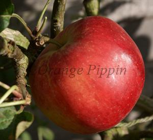 Scrumptious apple tree
