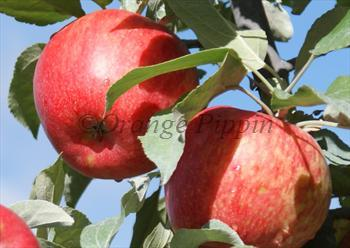 Honeycrisp - a particularly crisp apple