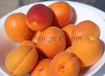 Freshly-picked Tomcot apricots
