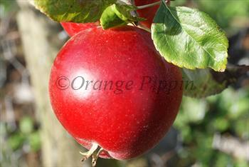Red Devil apple tree