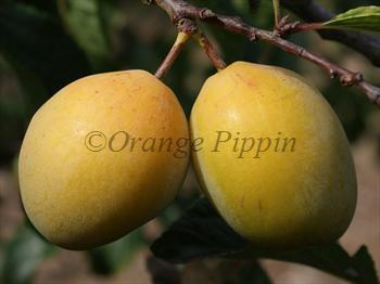 Coe's Golden Drop plum tree