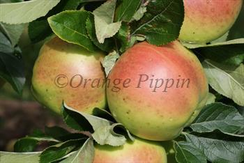 Scotch Dumpling apple tree