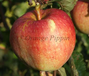 Kidd's Orange Red apple tree
