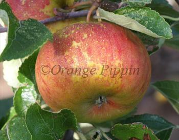Pixie apple tree