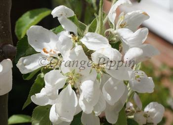 Malus jelly king crab apple trees for sale buy online malus jelly king crab apple trees mightylinksfo