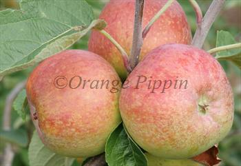 Irish Peach apple tree