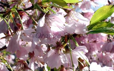 Accolade flowering cherry blossom