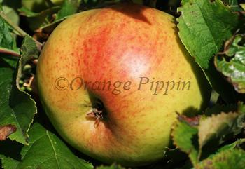 Annie Elizabeth apple tree