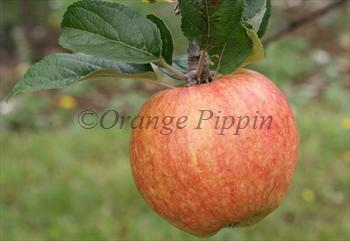 Bardsey apple tree