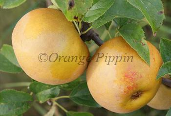 Egremont Russet apple tree