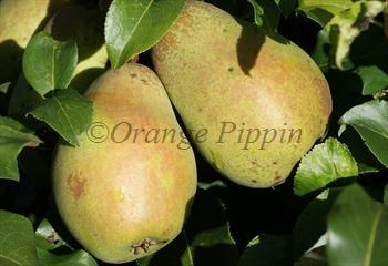 Glou Morceau pear tree