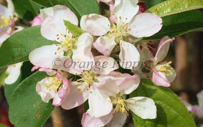 Gorgeous crab apple blossom