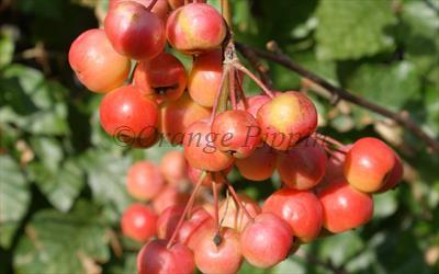 Red Sentinel crab apples