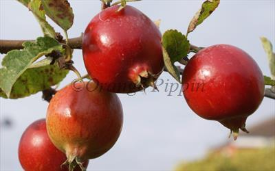 Rosehip crab-apples