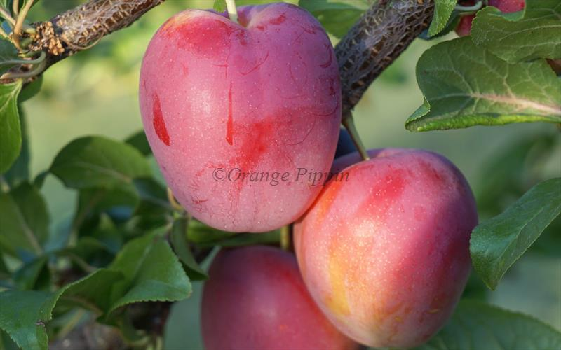 Ruby cherry plums